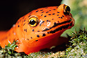 Nature Photography Gallery - Contains an assortment of amphibian, reptile, and insect photos.